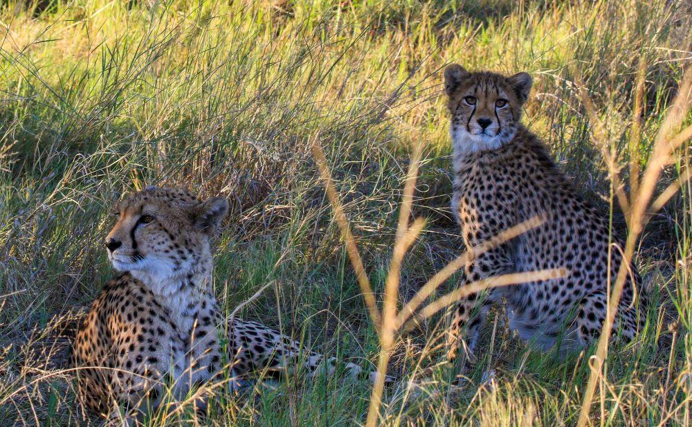 Cheetah at Bomani